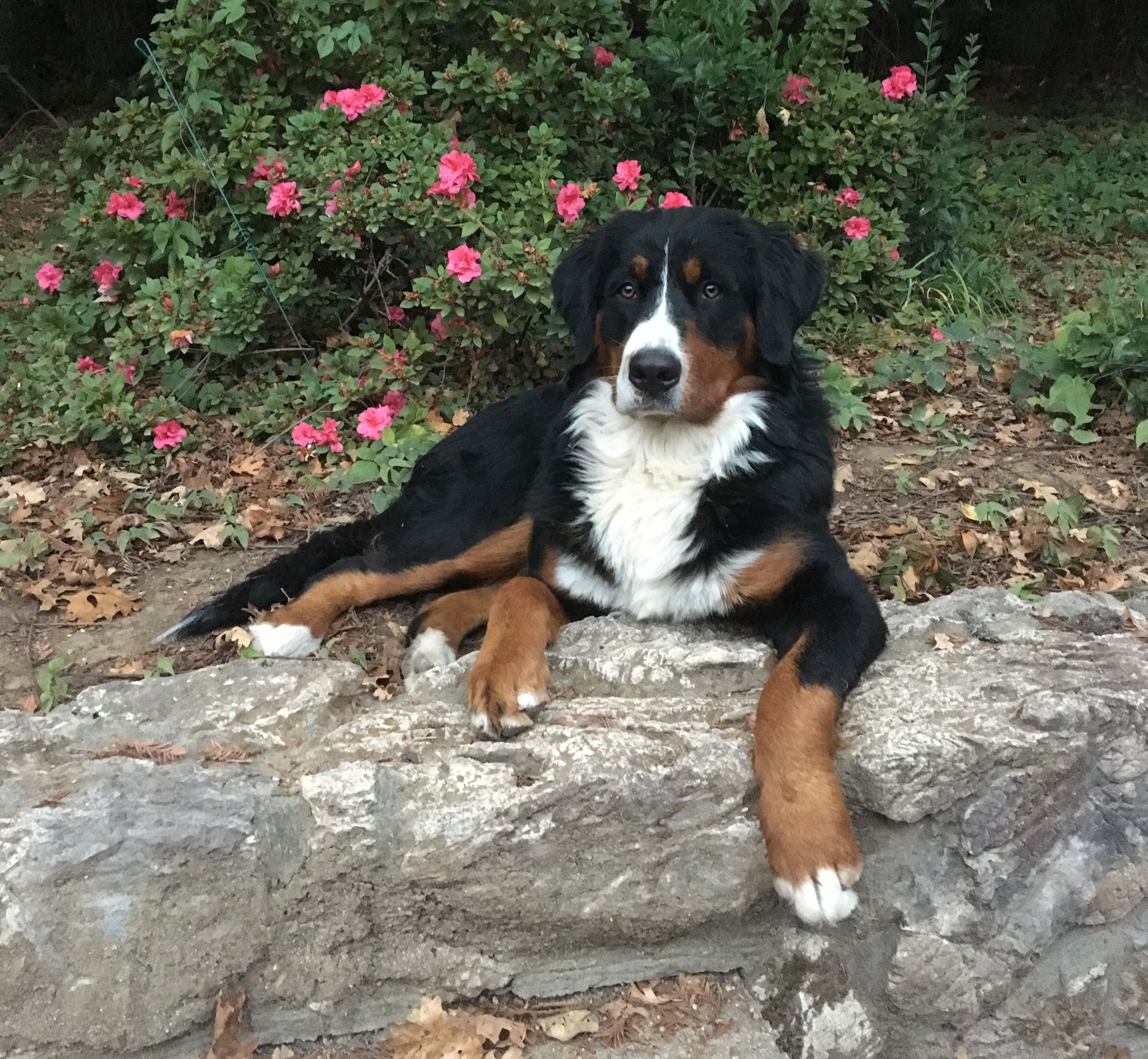 Luna, a 1-year-old Bernese mountain dog who had hip replacement surgery at UC Davis veterinary hospital