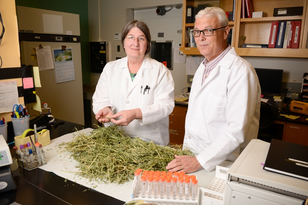 Researcher Marcia Booth and Robert Poppenga, a veterinary toxicologist, inspect drought impacted hay for the presence of toxic weeds at the California Animal Health and Food Safety Toxicology Laboratory which is part of the UC Davis School of Veterinary Medicine.