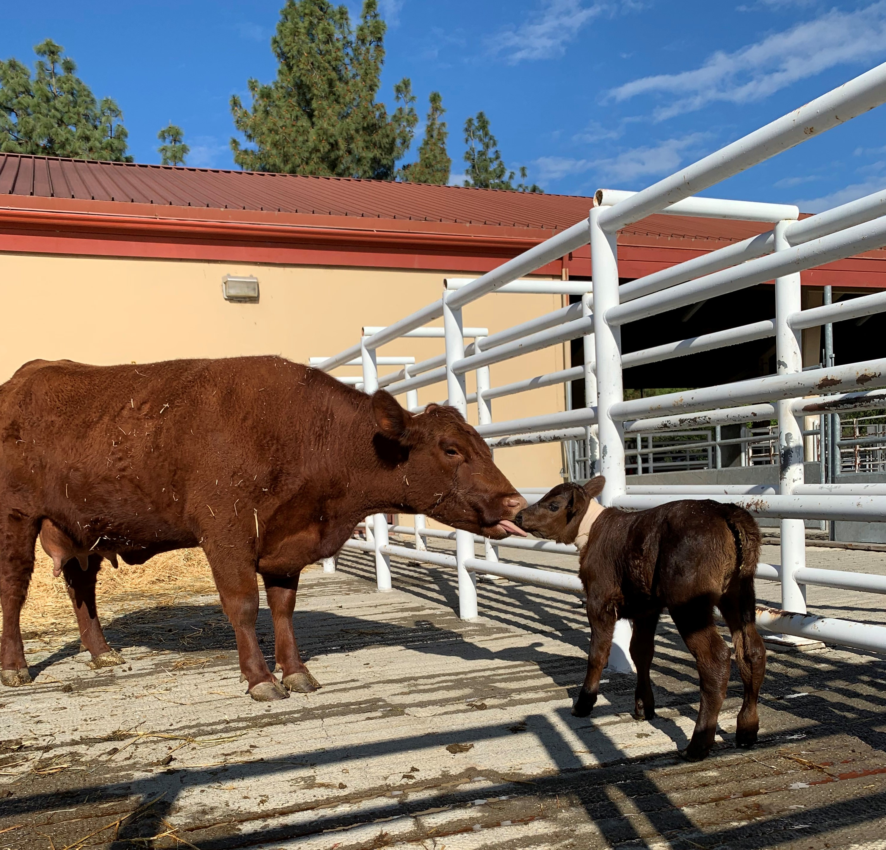 cow with her calf at UC Davis veterinary hospital