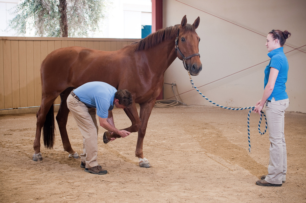 Equine Surgery and Lameness