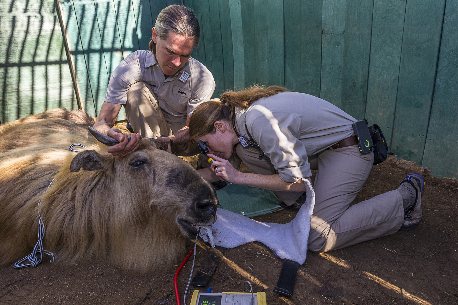 Dr. Mary Thurber examining a Sichuan takin at the San Diego Zoo.