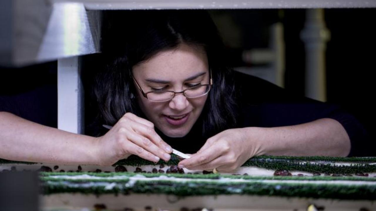 Kristin Aquilino, project manager for the white abalone program at Bodega Marine Laboratory, inspects year-old white abalone in 2017. (Joe Proudman / UC Davis)