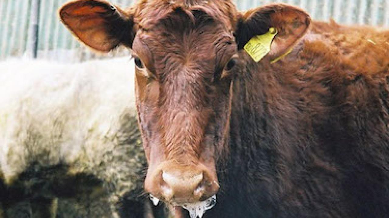 An infected cow in the U.K during the 2011 outbreak.