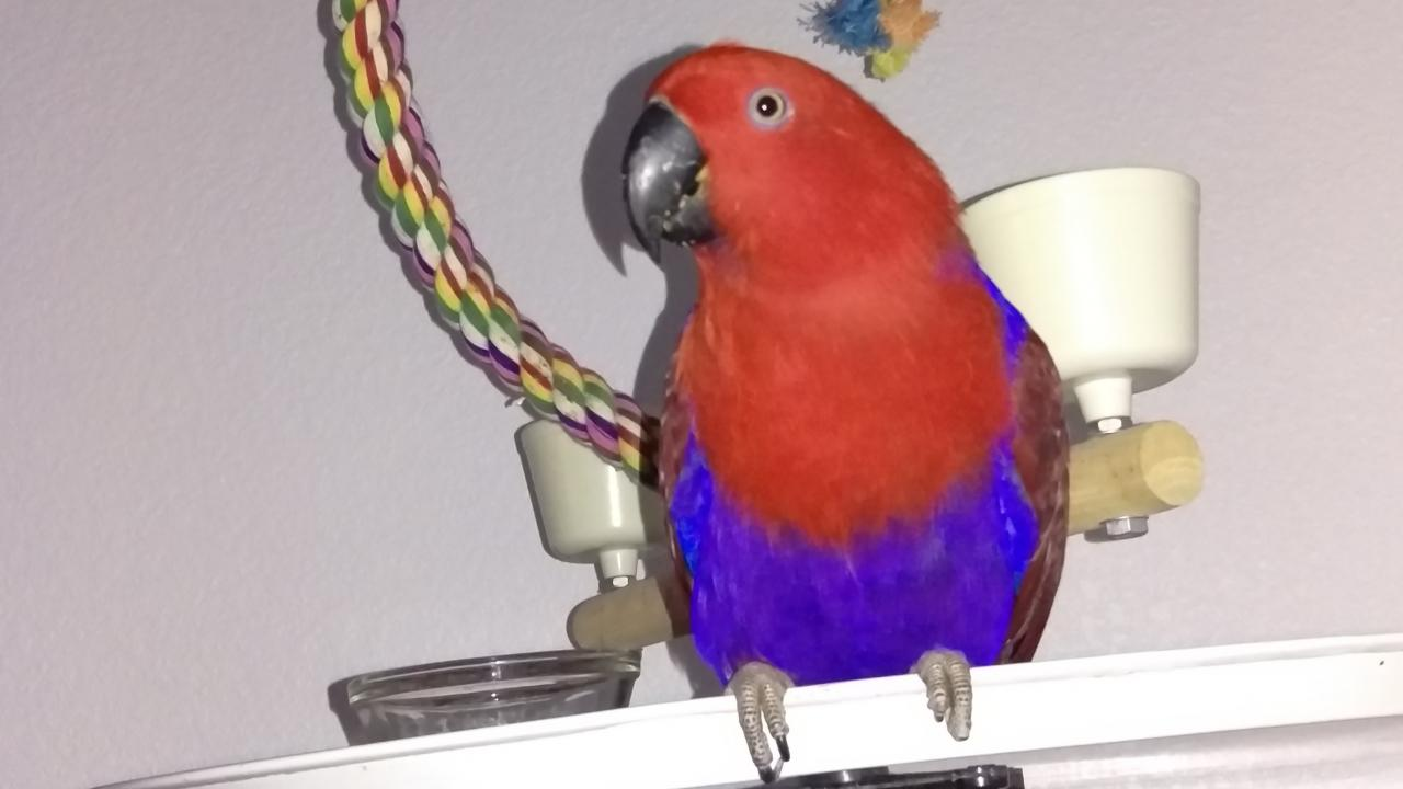 Eclectus parrot named Ginger treated for proventricular dilation at UC Davis veterinary hospital