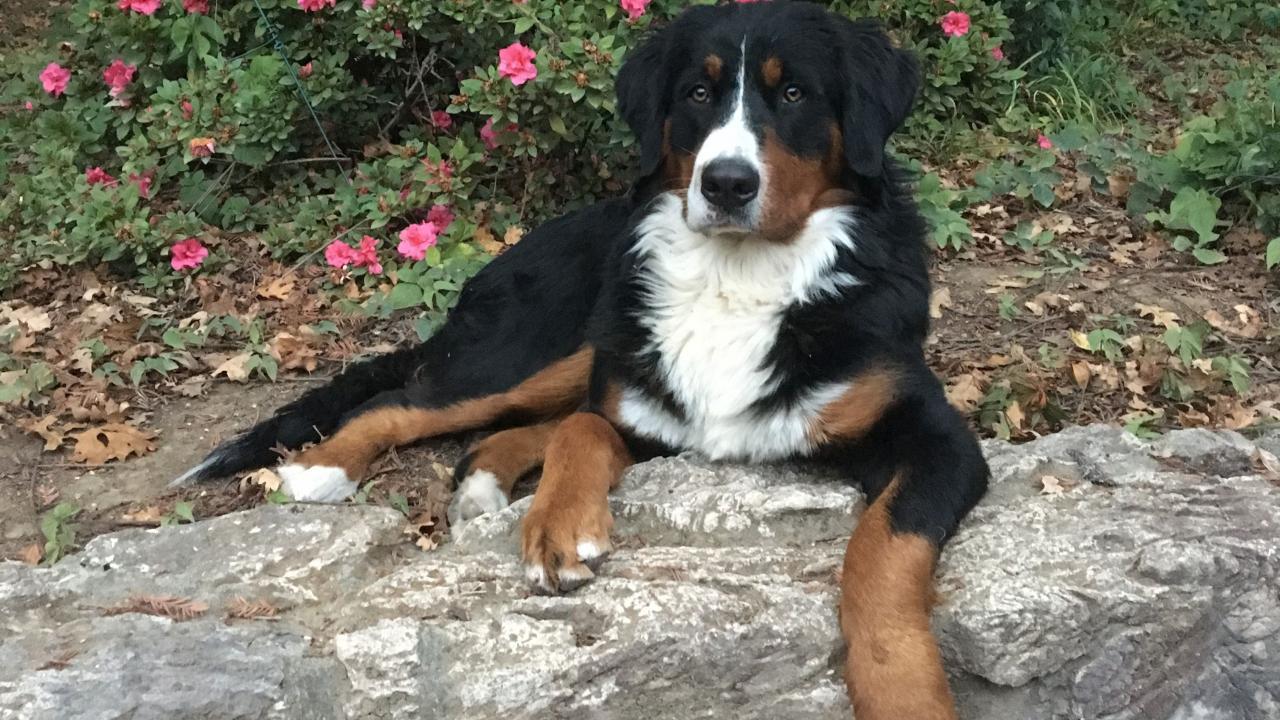 School Of Veterinary Medicine Champion Show Dog Undergoes