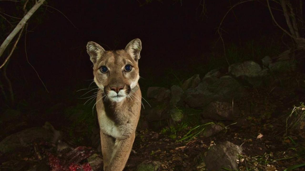 Female mountain lion P-13 near Malibu Creek State Park in March 2014. (National Park Service)
