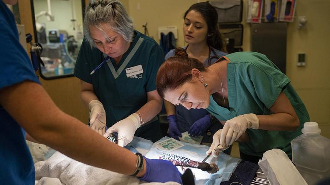 Dr. Peyton applies fish skin as treatment for dog burned in the Camp Fire.