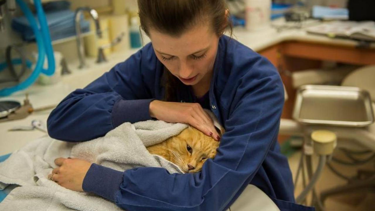 A cat in a clinical trial using stem cell therapy for gingivostomatitis.