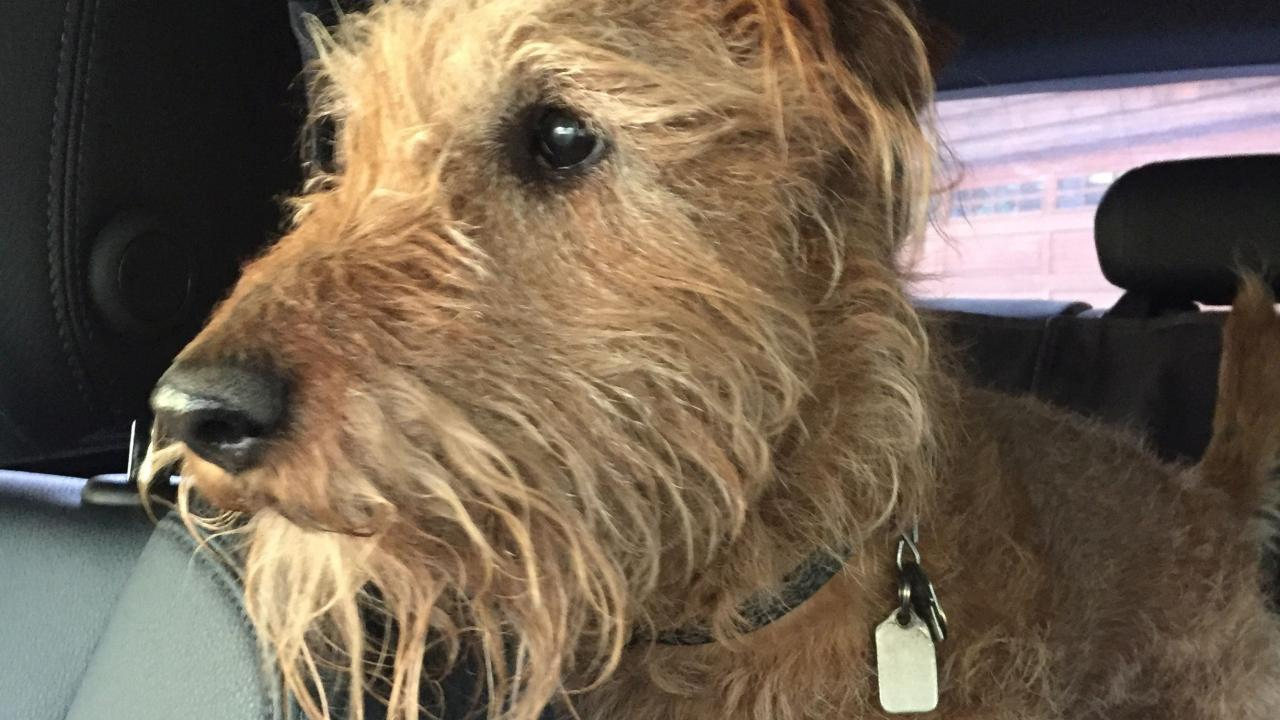 Riley, a 14-year-old Irish terrier