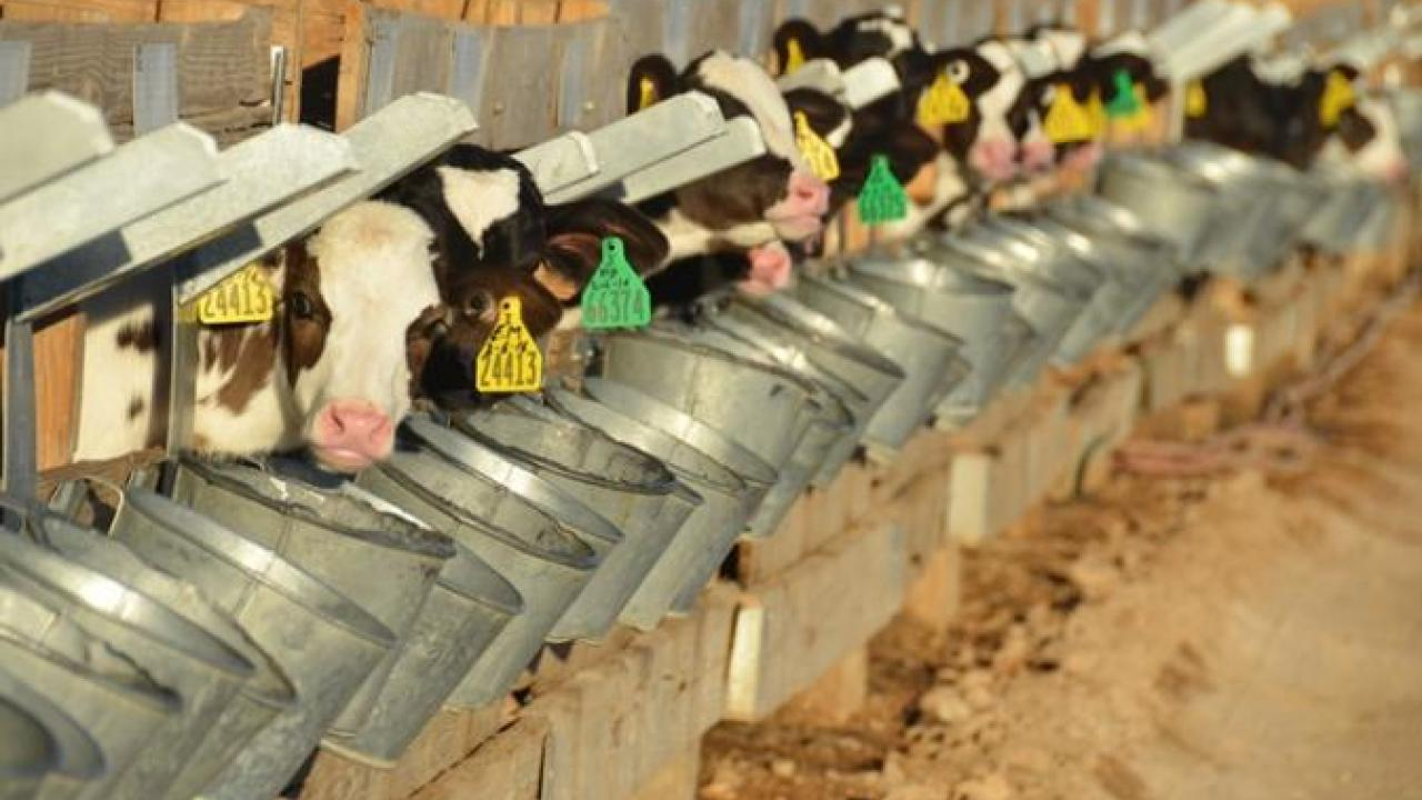 Feeding Waste Milk to Calves: Reducing Antimicrobial Resistance