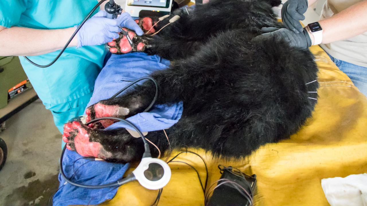 A young, female bear with paws badly burned in the Carr Fire.