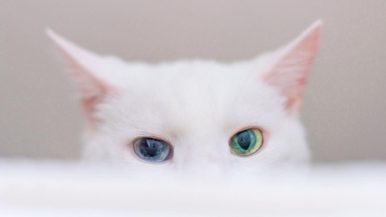 Cat with ulcerative keratitis