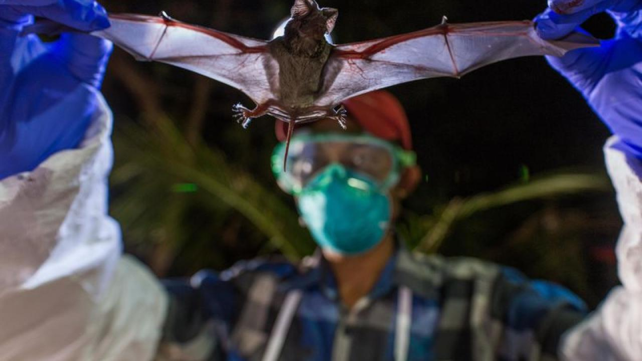 Scientists with Smithsonian's Global Health Program examine a wrinkle-lipped bat, which can harbor a never-before-seen virus. (Roshan Patel/Smithsonian Conservation Biology Institute)