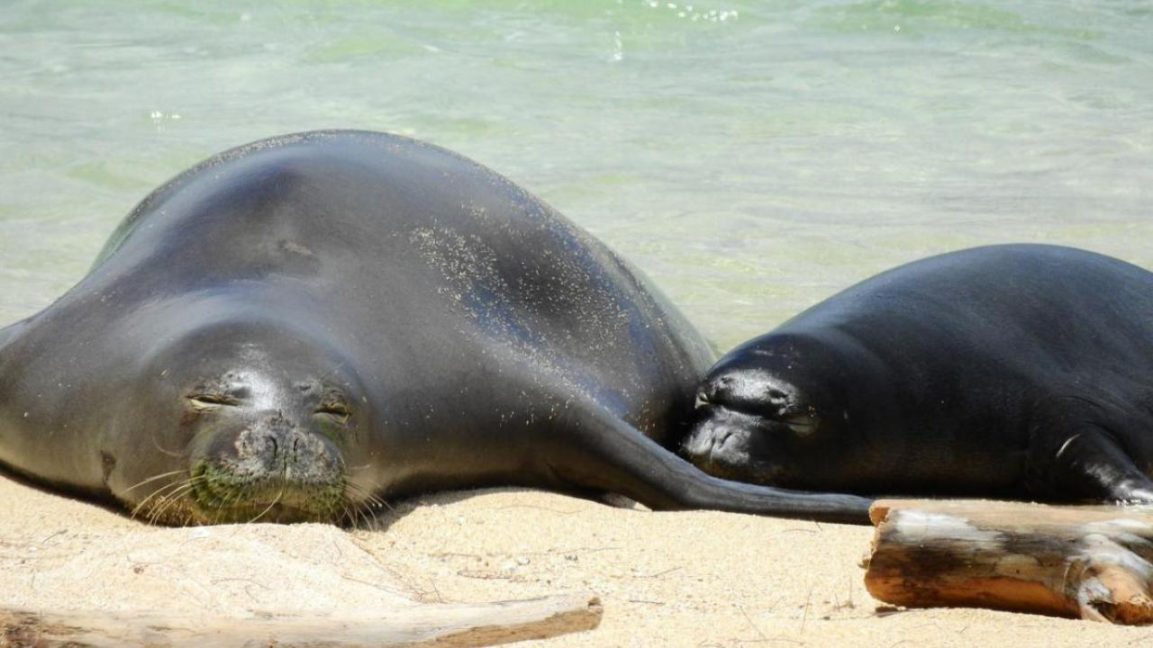 Hawaiian monk seal RT10 with her third pup on the north shore of Oahu in 2017. PHOTOGRAPH COURTESY NOAA FISHERIES