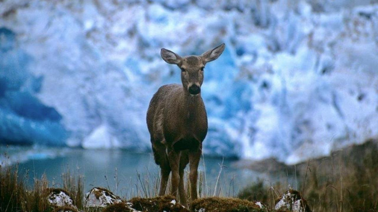 A huemul deer in Chilean Patagonia. (Alejandro Vila/Wildlife Conservation Society)
