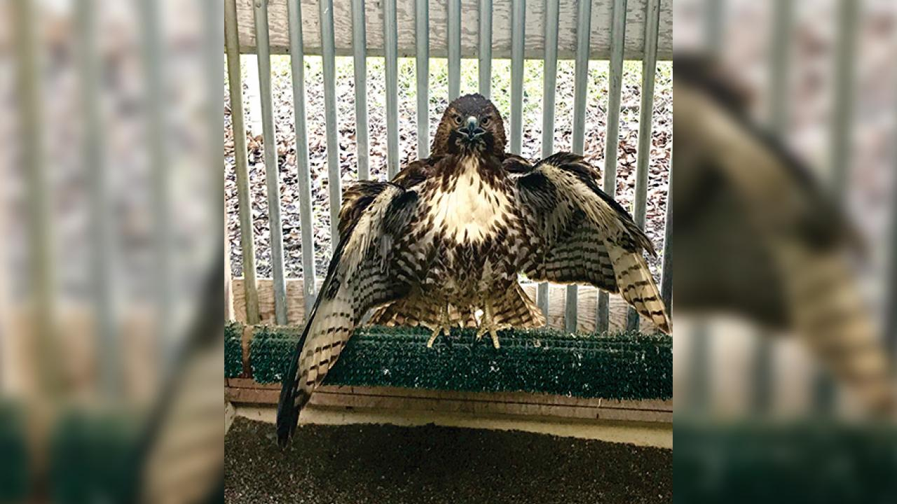 Imping, a method of feather replacement, helped this red-tailed hawk fly again.
