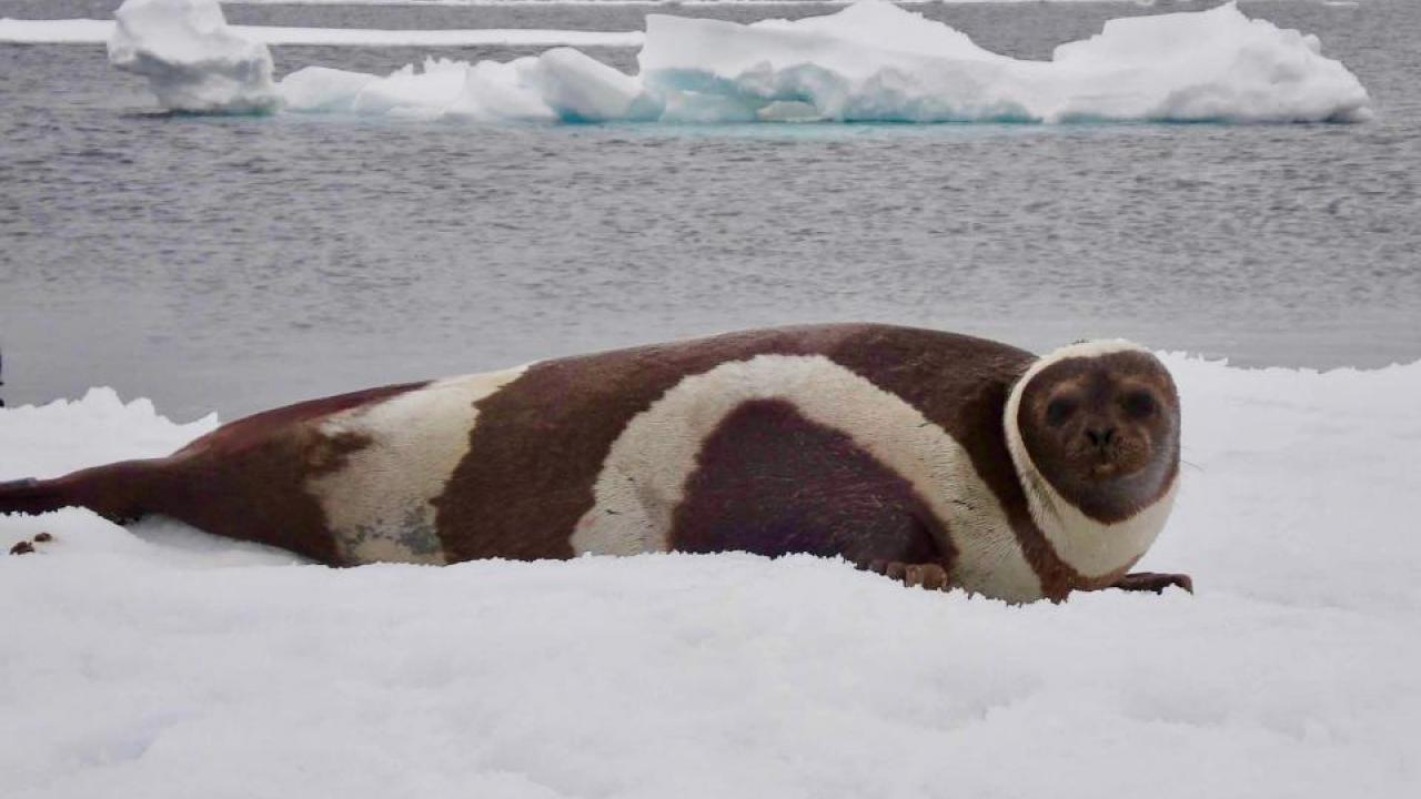 An adult male ribbon seal lays on the ice.