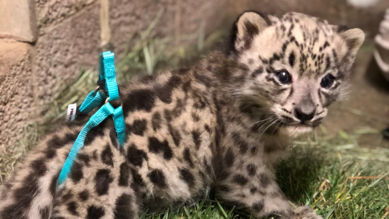 Snow leopard cub with harness