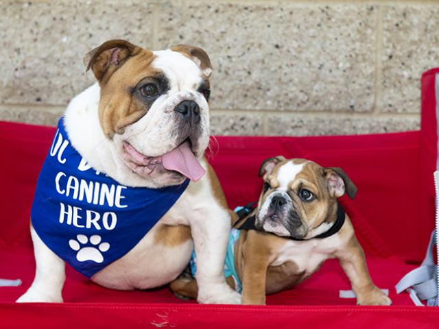 Spina bifida study bulldogs at UC Davis School of Veterinary Medicine.