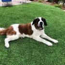 Max, the Saint Bernard