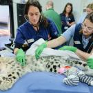 Dr. Jenessa Gjeltema on right examines a snow leopard at the Sacramento Zoo.