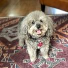 Poodle treated for immune mediated thrombocytopenia at UC Davis veterinary hospital