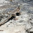The endangered blunt-nosed leopard lizard lives in the San Joaquin Valley of California. (Jonathan Richmond)