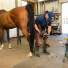 A horse in the farrier shop at UC Davis.