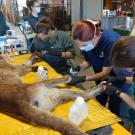 veterinarians treat paws of mountain lion