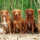 A row of four reddish dogs