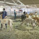 UC Davis veterinarians treat alpacas