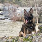 German shepherd dog sitting next to river