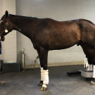 horse with leg in PET scanner