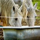 two horses drinking from same water source
